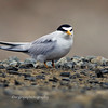 Least Tern, up close and personal.