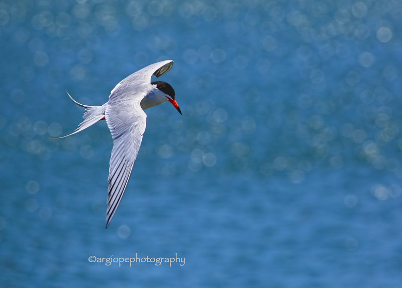Forster's Tern, Los Cerritos Wetlands,Long Beach,  California
