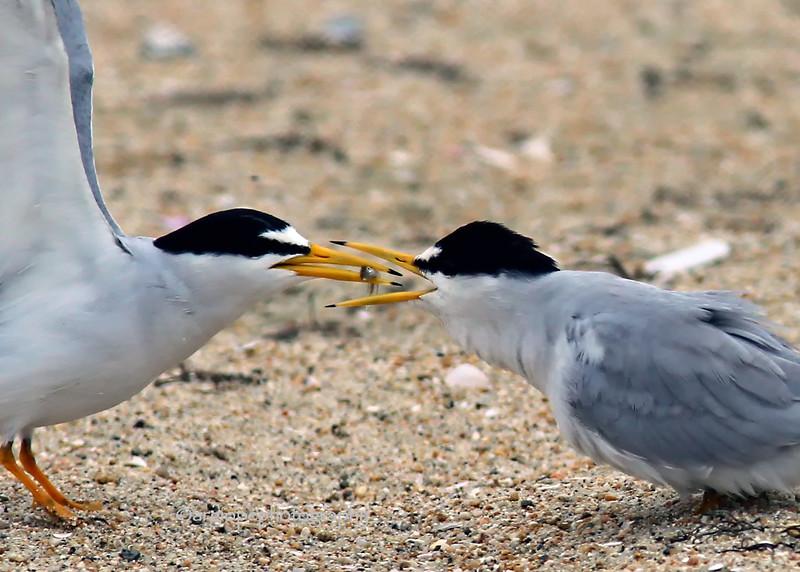 Least Tern. Courtship feeding.