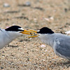 Least Tern. Courtship feeding.