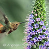 Allen's Hummingbird in flight with Pride of Madeira blossoms.