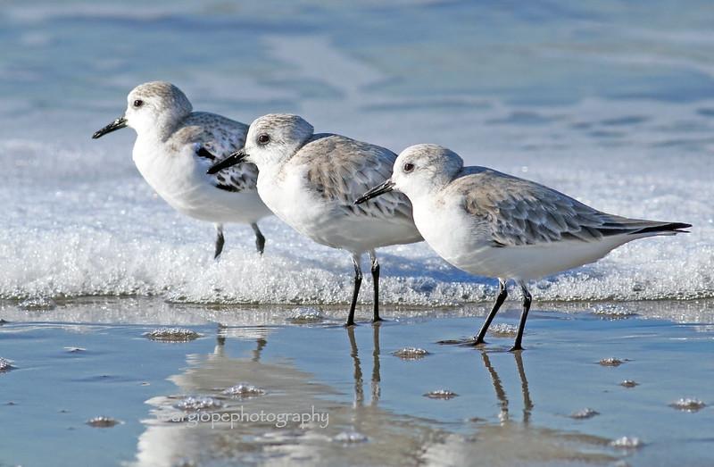 Sanderlings, winter, Cabrillo Beach, Los Angeles County, California