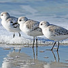 Sanderlings, winter, Cabrillo Beach, Los Angeles County, California