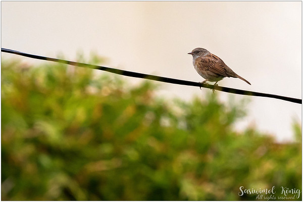A Dunnock, observing the world