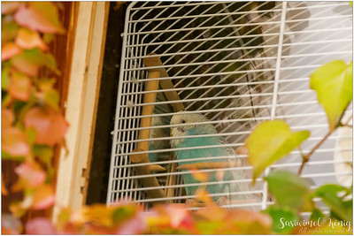 Blue Parakeet in a cage, South Tyrol