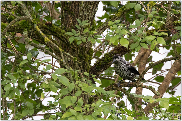 Spotted Nutcracker : such beautiful plumages