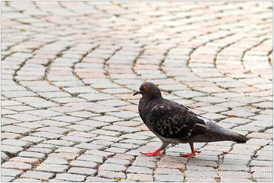 The famous Pigeon