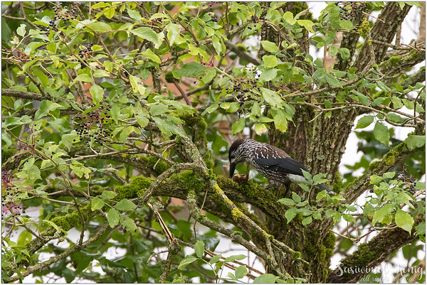 Spotted Nutcracker : eating something?