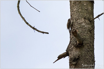 Short-toedTreecreeper : too far away to see clearly