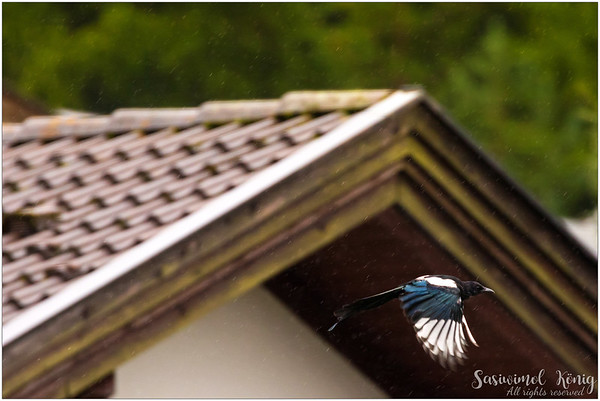 Eurasian Magpie (Elster) : in flight, too bad it's too blurred