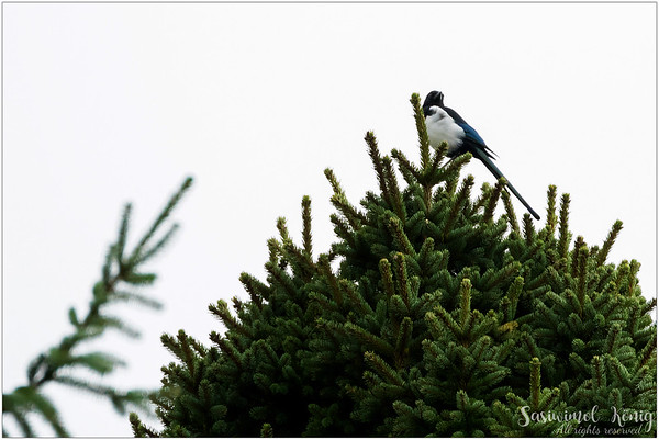 Eurasian Magpie (Elster) : on top of a pine tree