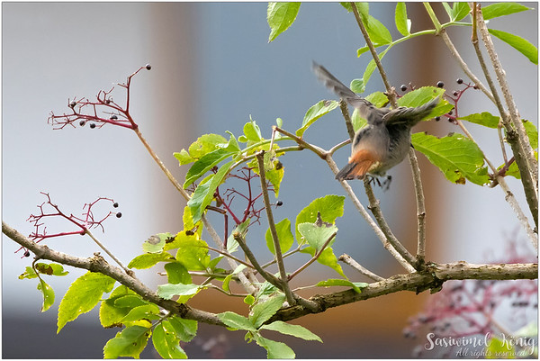 Black Redstart (Hausrotschwanz) : Showing red orange rump
