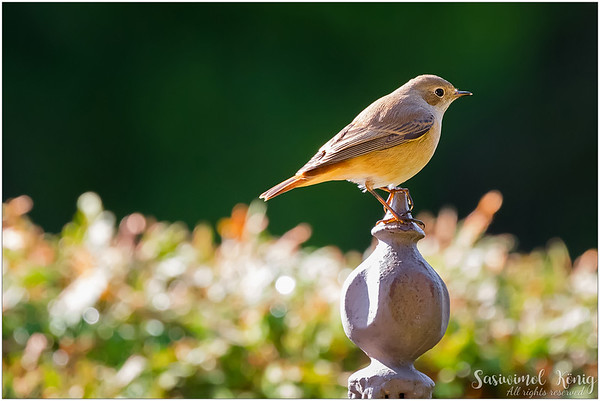 Black Redstart (Hausrotschwanz) : Looking very cute