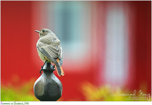 Young European black redstart