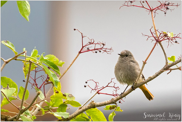 Black Redstart (Hausrotschwanz) : Being so thoughtful hehe