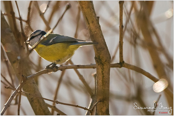 Eurasian blue tit  - Cracking sunflower seed