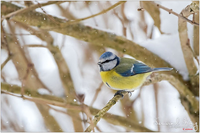 Eurasian blue tit  - Hope those bright feathers can reduce heat loss