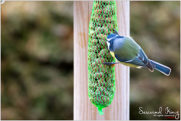 Eurasian blue tit  - Love the blue plumage
