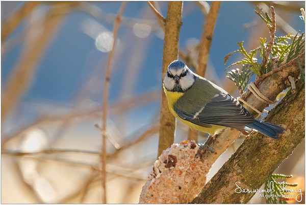 Eurasian blue tit  - Defend the cookie territory