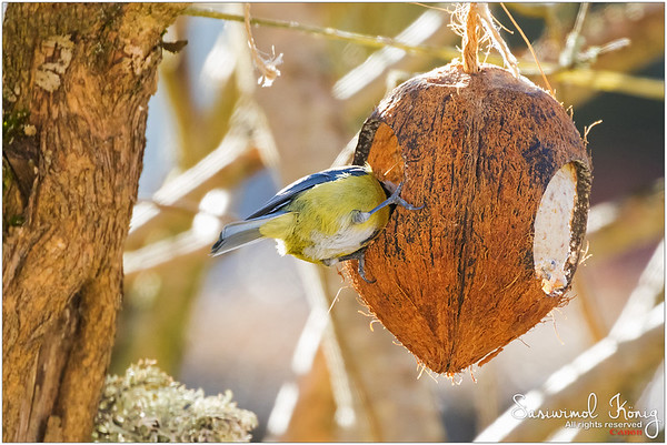 Eurasian blue tit  - Could also rest inside while chewing
