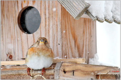 The Brambling / Bergfink (Fringilla montifringilla)  -- Chubby little one