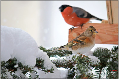 A female Brambling (Bergfink) with a male Eurasian bullfinch (Gimpel)