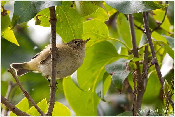 Common Chiffchaff or other type of Warber?