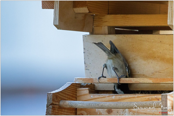 Coal tit - This is not a correct Yoga headstand