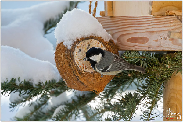 Coal tit - Snowy day.. loving the suet