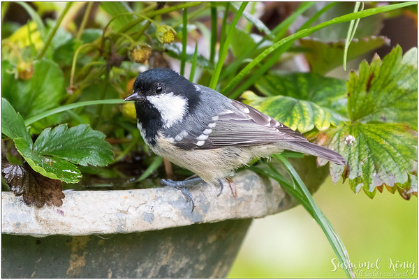 Coal Tit (Tannenmeise) : on a strawberry pot