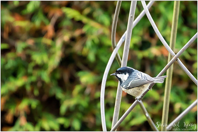 Coal Tit (Tannenmeise) : perching on a garden ornament