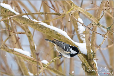 Coal tit - Wind blowing