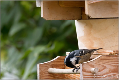 Coal Tit (Tannenmeise) : perching on a wooden feeder