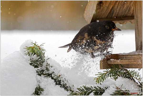 Common blackbird - Smooth landing, not