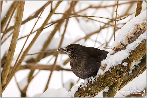 Eurasian blackbird with cold beak