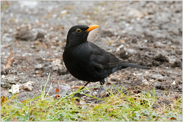 Eurasian blackbird - Love his yellow eye ring and bill.. What a contrast!