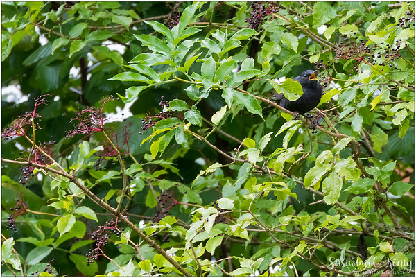 Common blackbird / Eurasian blackbird : the boy loves eating Elderberry