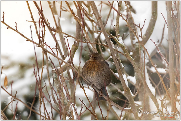Eurasian blackbird - Hate snowflakes on her face? :P