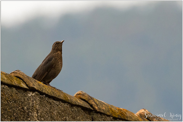 Common blackbird / Eurasian blackbird : on the roof