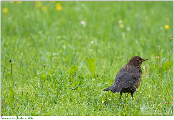 Female Eurasian Blackbird in the backyard