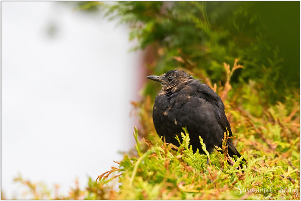 Common blackbird / Eurasian blackbird : Puffy little one