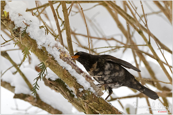 Eurasian blackbird - A hungry albino bird