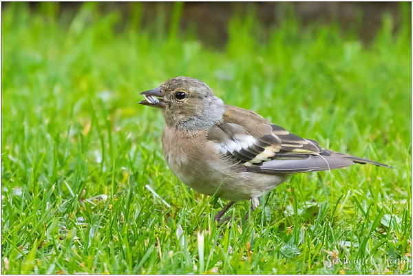 Common chaffinch (Buchfink) : loves sunflower seed