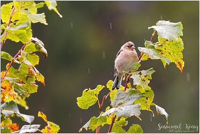 Common chaffinch (Buchfink) : rain.. cold and windy.. not my day.. not my day