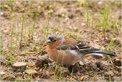 Common chaffinch (Buchfink) : with muddy beaks as it foraged for food in the mud