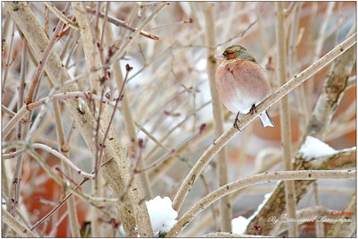 A left profile of Chaffinch (Fringilla coelebs) -- love the rusty pink shade