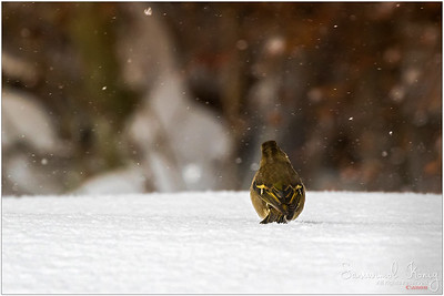 Common chaffinch  - Cannot give up even tho it's cold and lonely