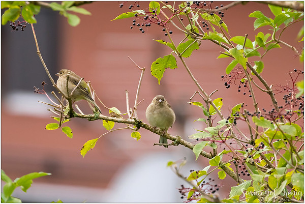 Common chaffinch (Buchfink) : On the Elderberry tree