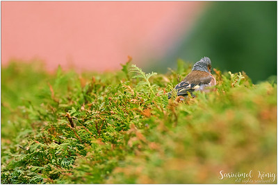 Common chaffinch (Buchfink) : Cannot blend well, I see your head, punk!