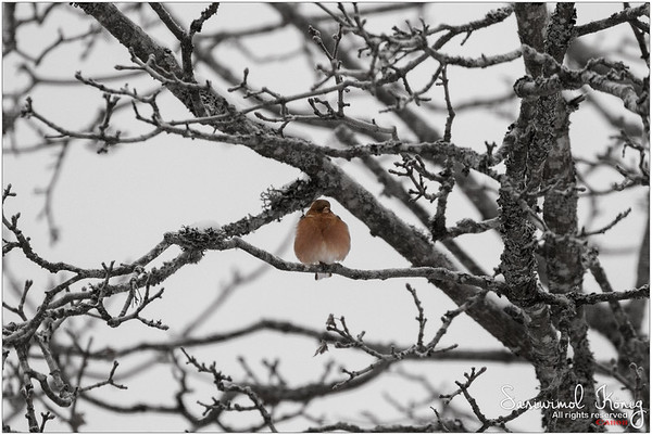 Common chaffinch  - Seasonal affective disorder